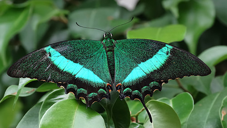 Emerald Swallowtail butterfly with wings open