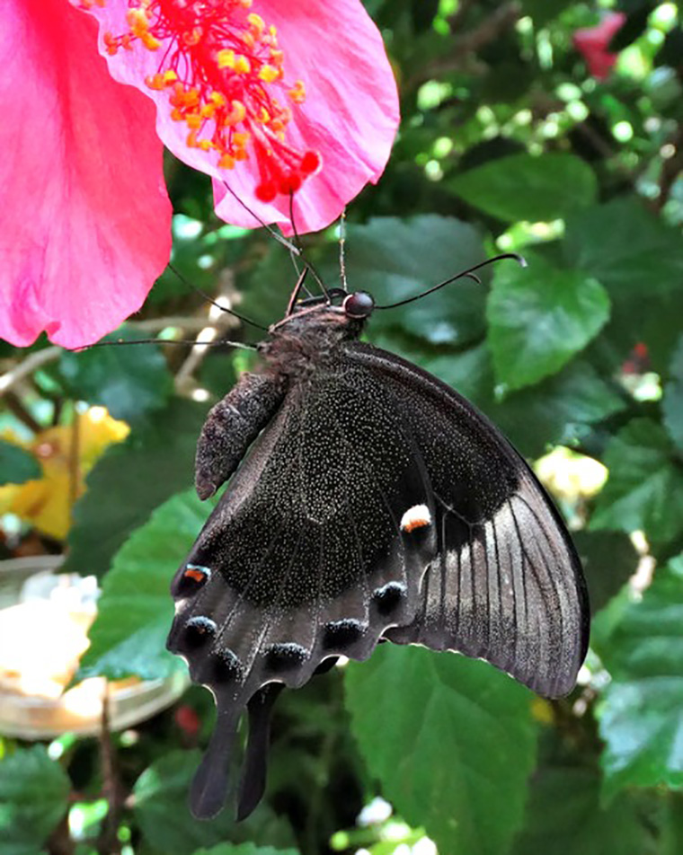 Emerald Swallowtail with wings closed