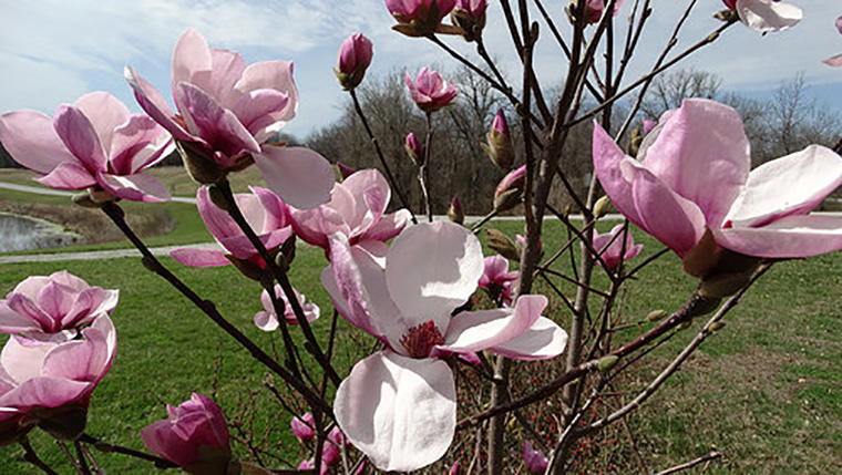 PG Magnolia Spring Royalty by Alan Branhagen
