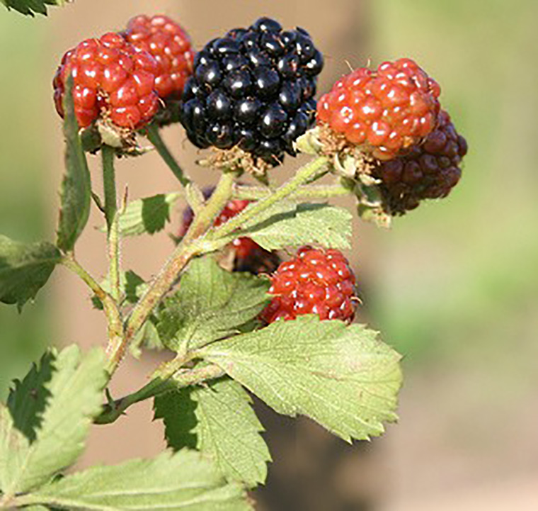 blackberries sm