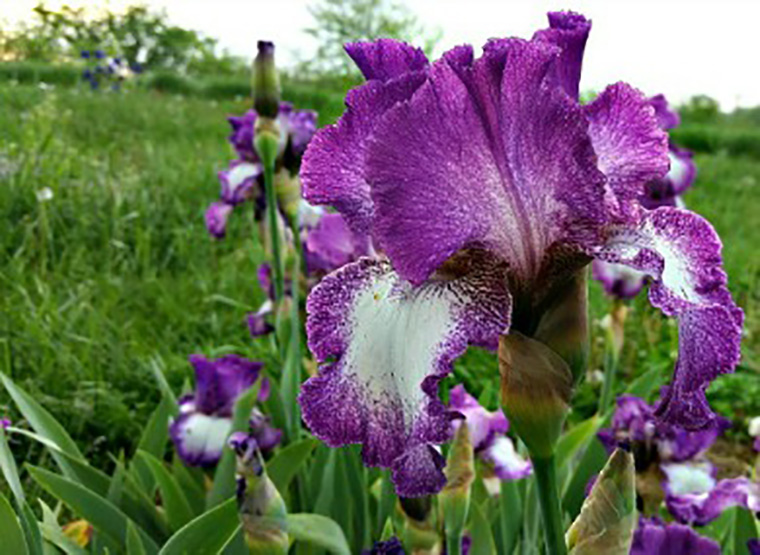 blog Iris Hill 4.26.16 Mariposa Autumn sm